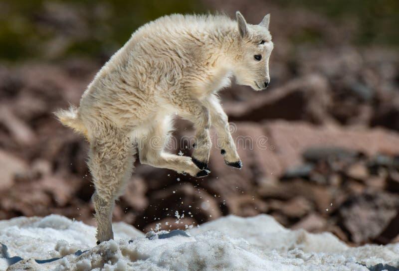 Un agnello dello stambecco del bambino che gioca rumorosamente nella neve fotografia stock