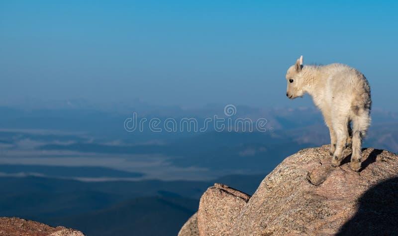 Un agnello dello stambecco del bambino osservando l'area dalla cima della montagna fotografia stock libera da diritti