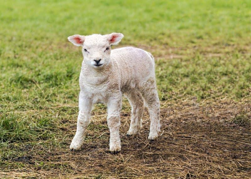 Un agnello sveglio immagine stock