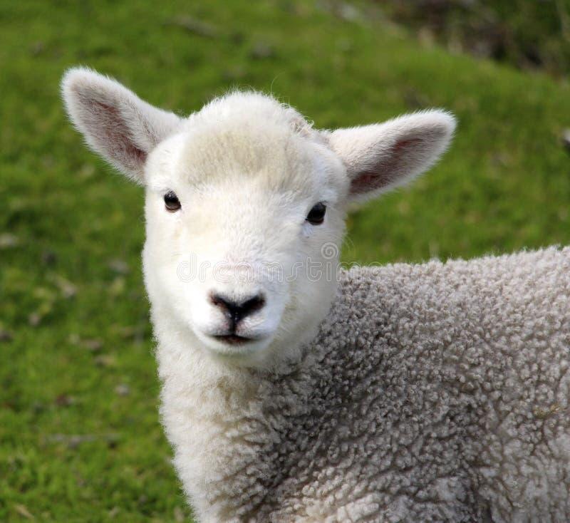 Un agnello sveglio del bambino sull'azienda agricola