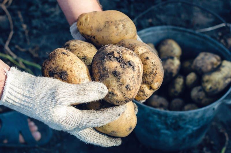 Un agricoltore in guanti tiene i tuberi della patata nel giardino fotografie stock