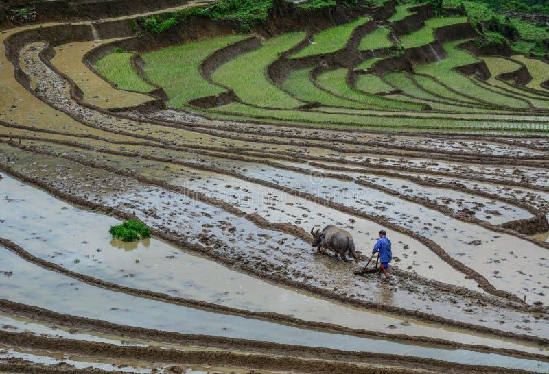 Un agriculteur avec le buffle d'eau sur le champ photo libre de droits
