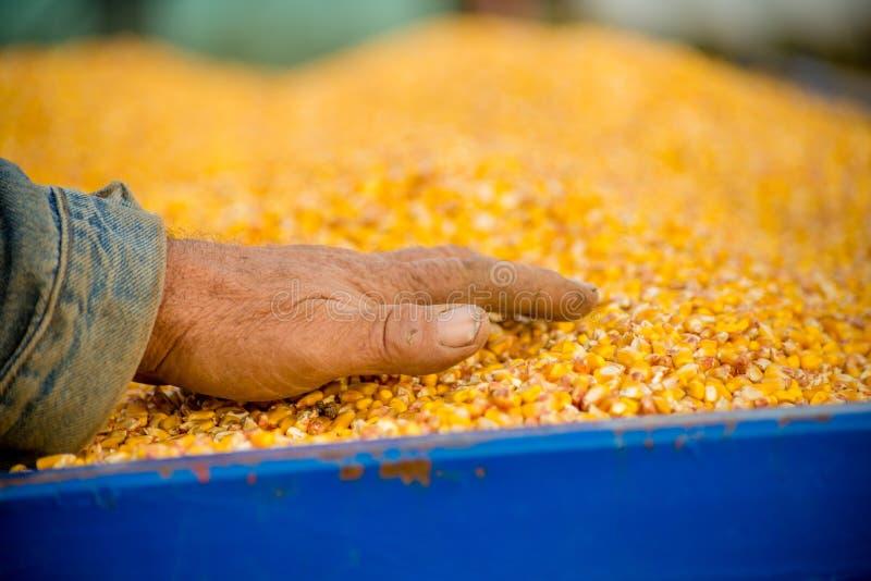 Un agriculteur dans une remorque de tracteur complètement de maïs image stock