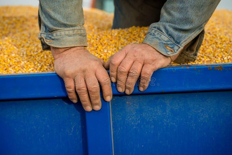 Un agriculteur dans une remorque de tracteur complètement de maïs photo stock
