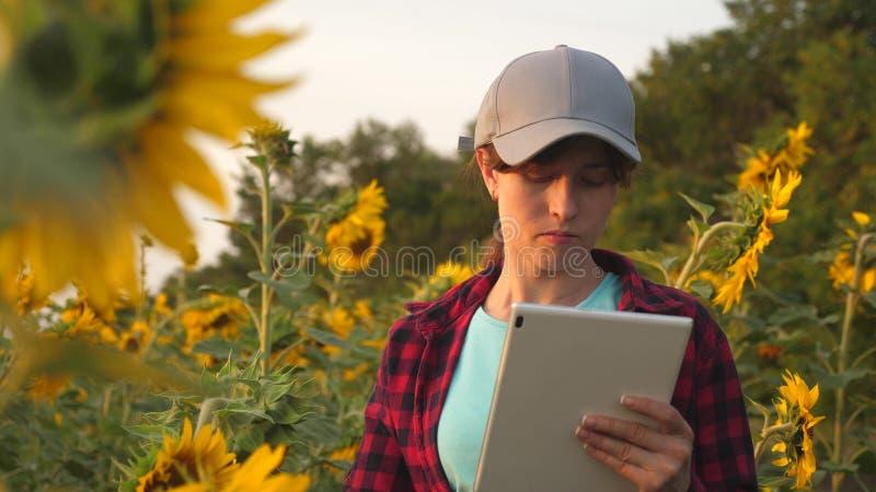 Un agronomo studia il raccolto e le risate del girasole Donna felice dell'agricoltore che lavora con una compressa in un giacimen fotografia stock