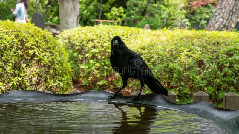 Un agua potable y una reclinación del cuervo imagen de archivo