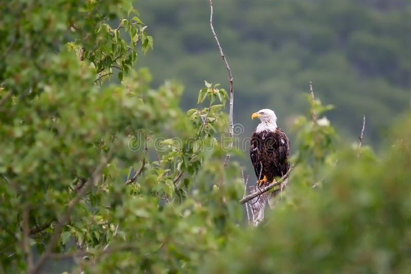Un aigle chauve adulte était perché sur un arbre image stock