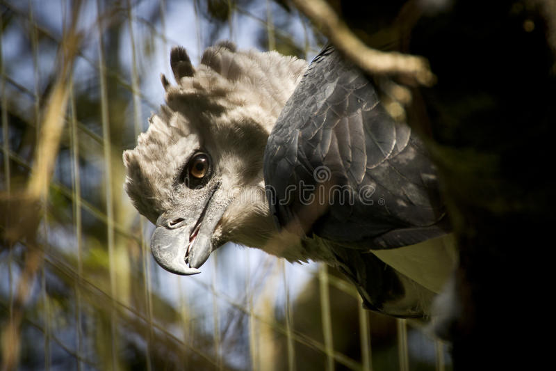 Un aigle de harpie en captivité images libres de droits