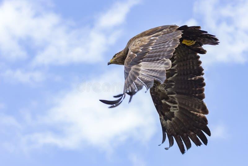 Un aigle de steppe avec ses ailes puissantes dans le plein vol images stock