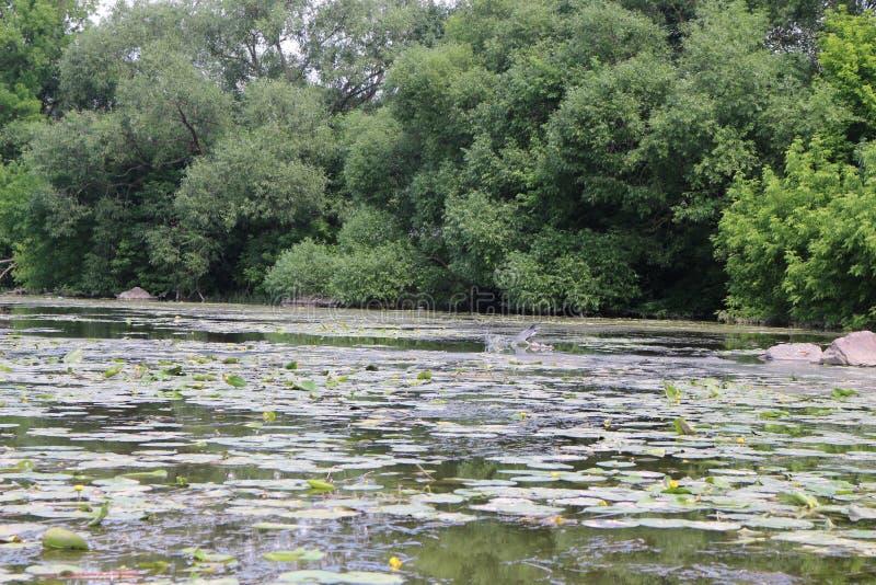 Un airone cerca il pesce dal fiume in ninfee fotografie stock libere da diritti