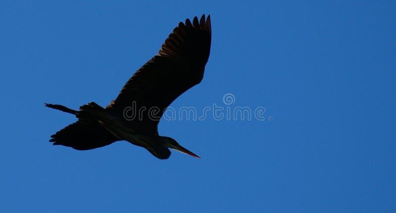 Un airone nei cieli fotografie stock libere da diritti