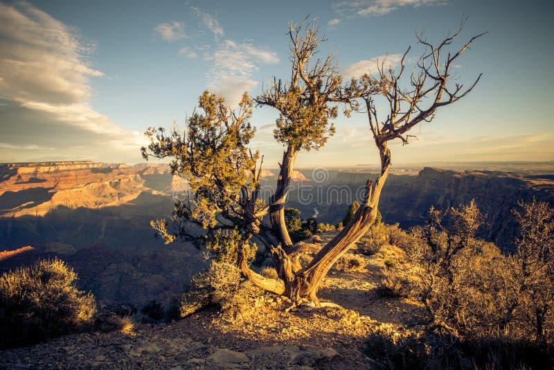 Un albero aderisce sopra per vita nel deserto del parco nazionale di Grand Canyon fotografia stock