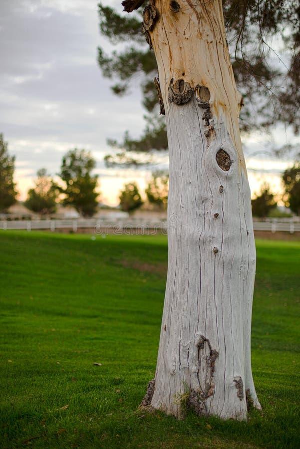 Un albero annodato immagine stock libera da diritti