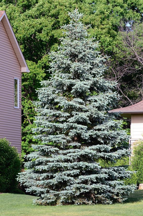 Un albero attillato blu immagini stock libere da diritti