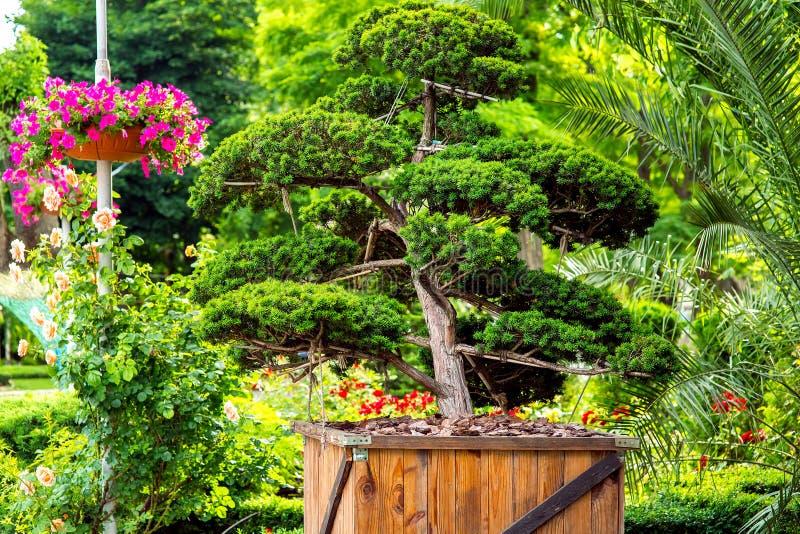 Un albero cinese in un vaso da fiori di legno con la pacciamazione immagine stock