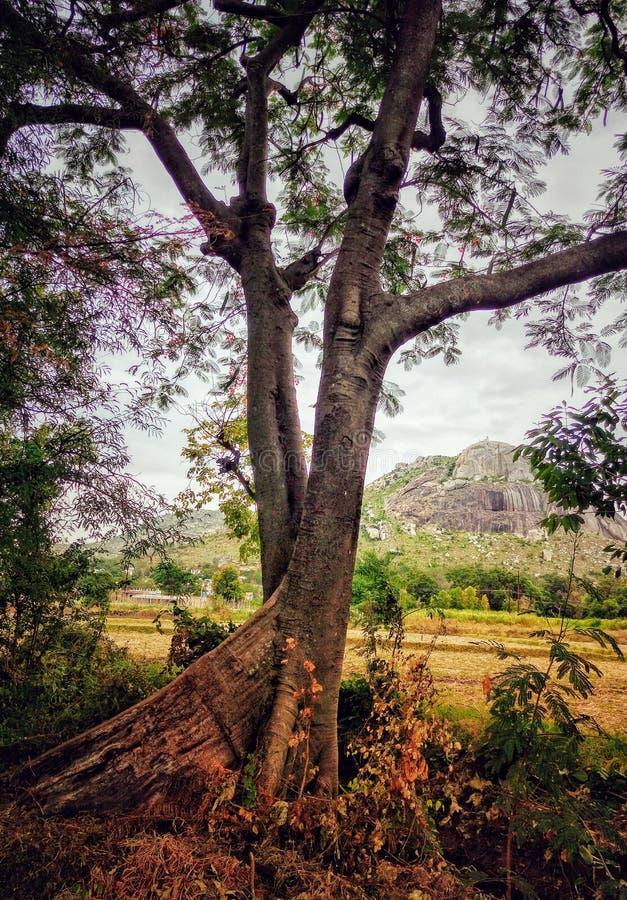 Un albero con due gambi immagine stock libera da diritti