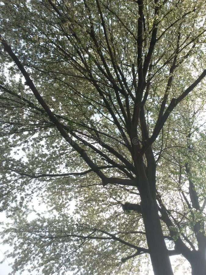 Un albero con i fiori fotografia stock libera da diritti