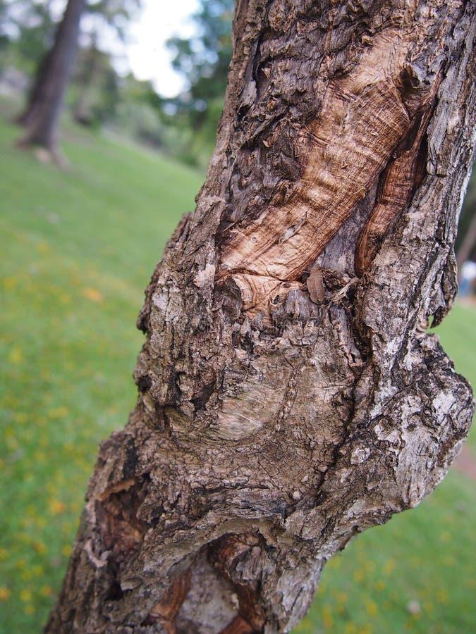 Un albero con la sue corteccia e cicatrici fotografia stock libera da diritti