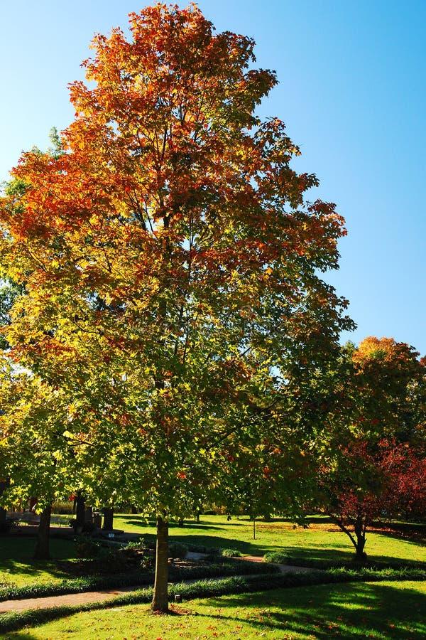 Un albero d'autunno cattura la luce del sole in un parco pubblico fotografie stock