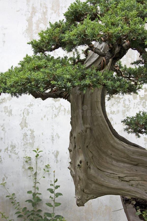 Un albero dei bonsai in un giardino a Suzhou fotografie stock