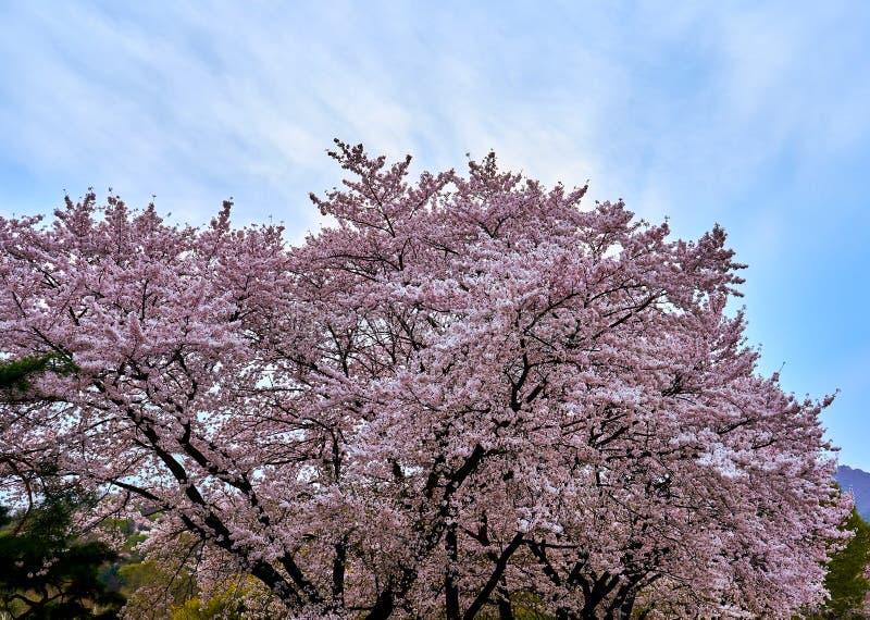 Un albero del fiore di ciliegia che visualizza i fiori abbondanti del rosa adorabile immagine stock