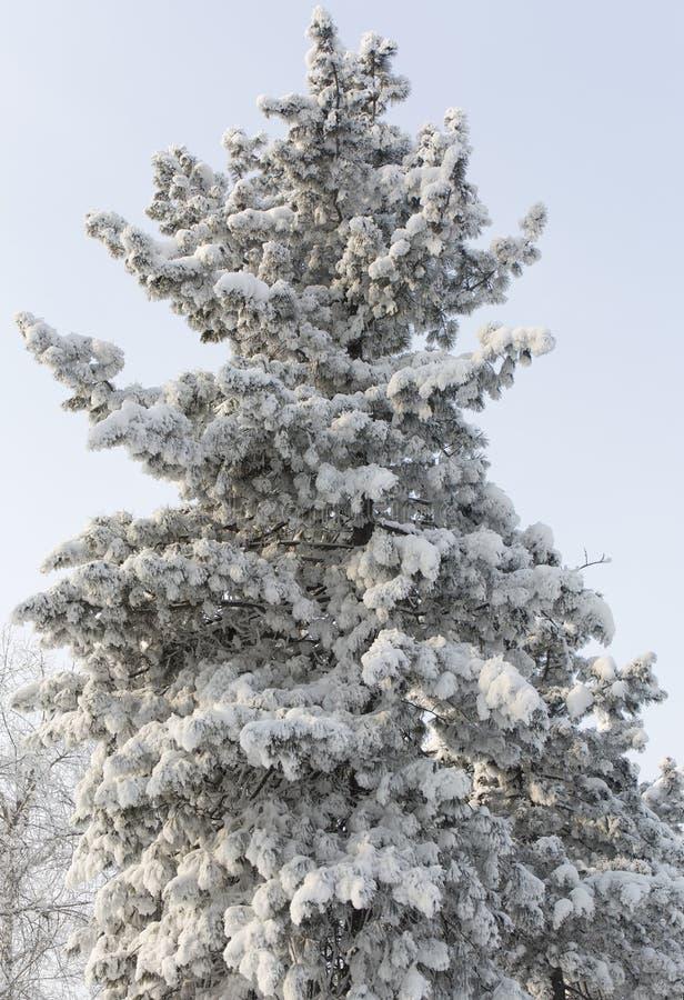 Un albero di abete nevoso Albero del gelo invernale fotografia stock