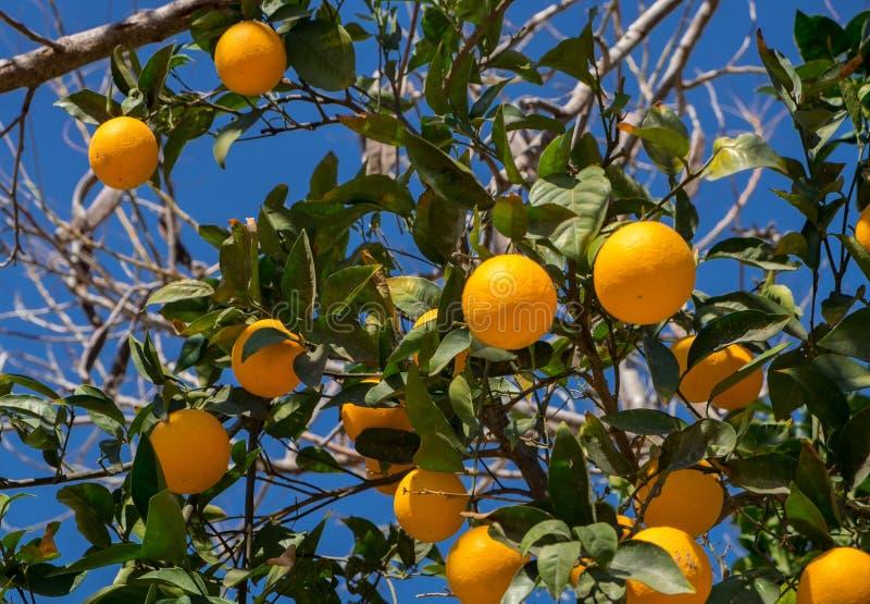 Un albero di arance sul fondo del cielo blu immagini stock libere da diritti