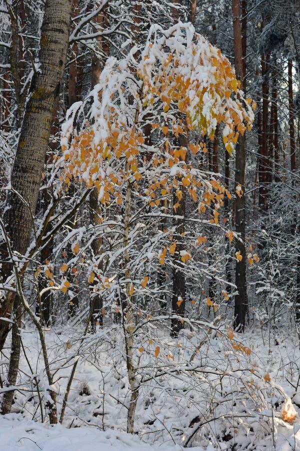 Un albero di betulla con le foglie gialle nella neve immagine stock libera da diritti