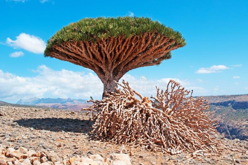 Un albero di Dragon Blood ed i rami morti, le rocce rosse e un canyon in Shibham, plateau di Dixam, isola di socotra, Yemen immagine stock libera da diritti
