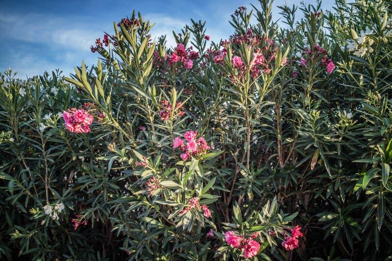 Un albero di nerium oleander in Yuma, Arizona immagine stock