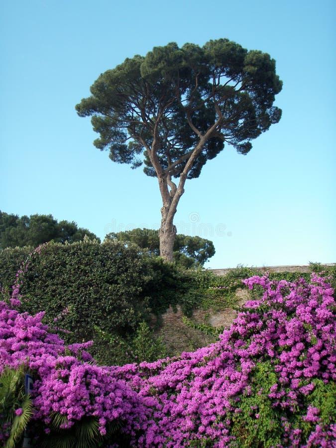 Un albero di pino gentile italiano e le rose incoerenti rosa contro il cielo blu immagini stock
