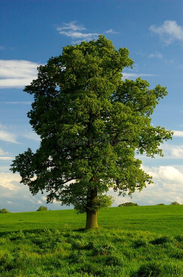 Un albero di quercia inglese solo fotografia stock