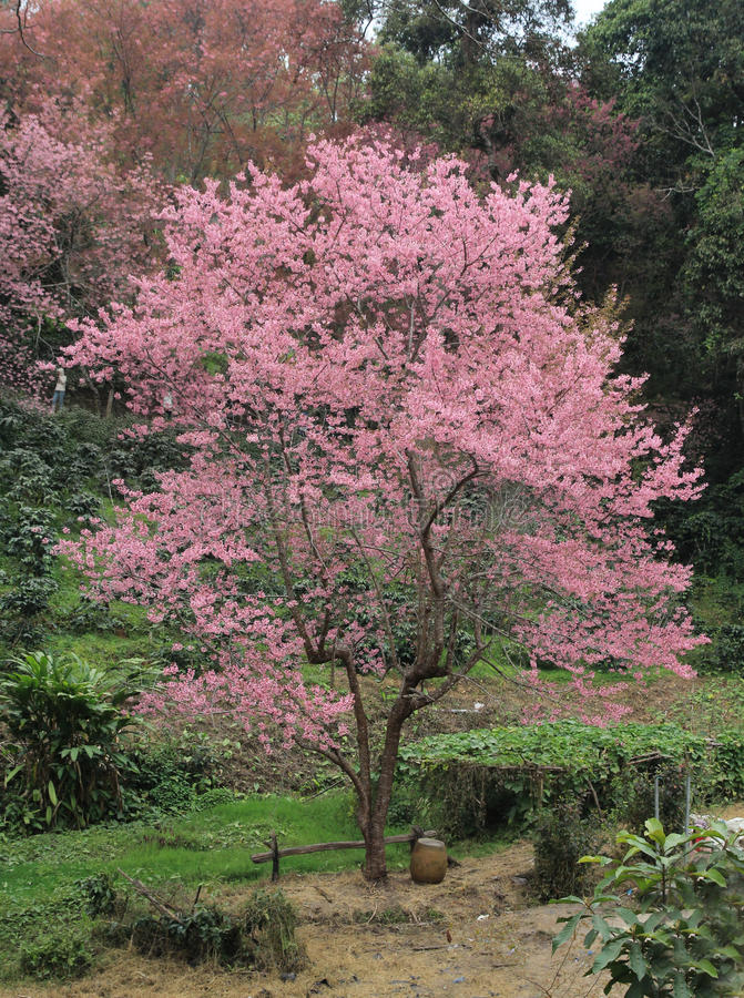 un albero di sakura fotografia stock immagine di On sakura albero
