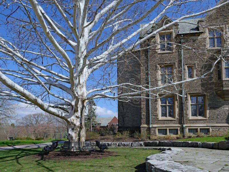 Un albero di Sycamore accanto a un edificio gotico dell'università fotografia stock libera da diritti