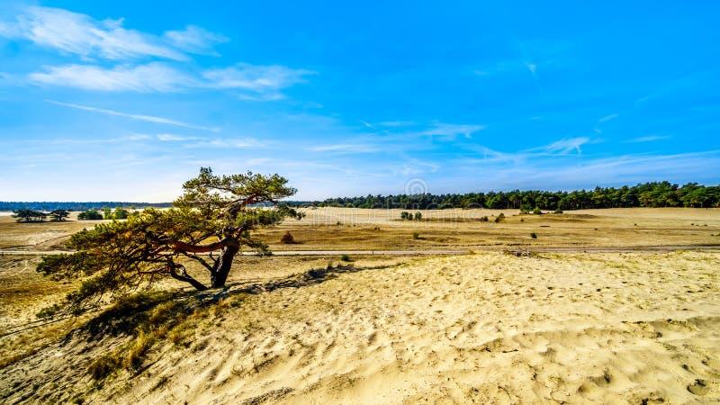 Un albero esposto al vento nel mini deserto Beekhuizerzand nella riserva naturale di Hoge Veluwe fotografia stock