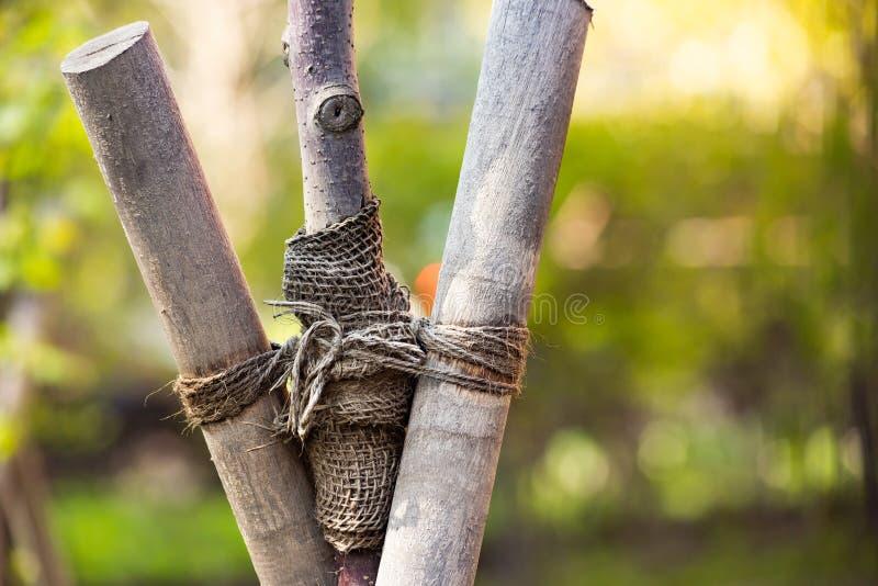 Un albero legato con corde nel parco immagine stock
