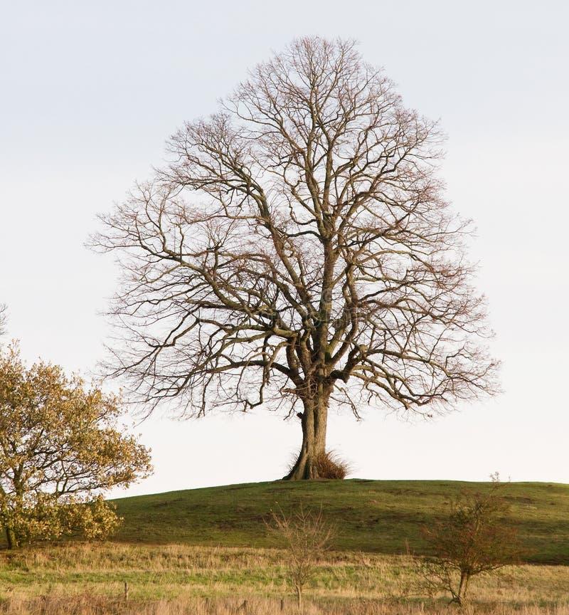 Un albero nudo sulla collina fotografie stock