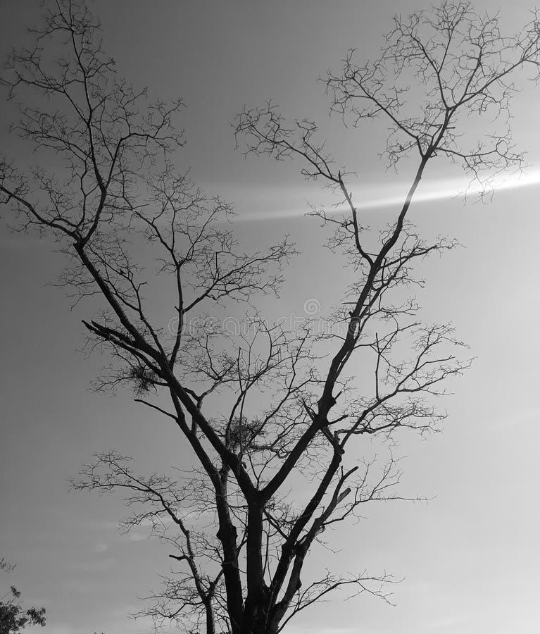 Un albero secco immagine stock