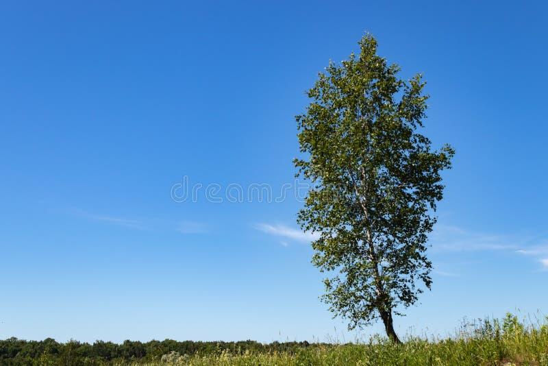 Un albero solo in un campo un giorno soleggiato luminoso betulla Regione Russia di Mosca fotografie stock