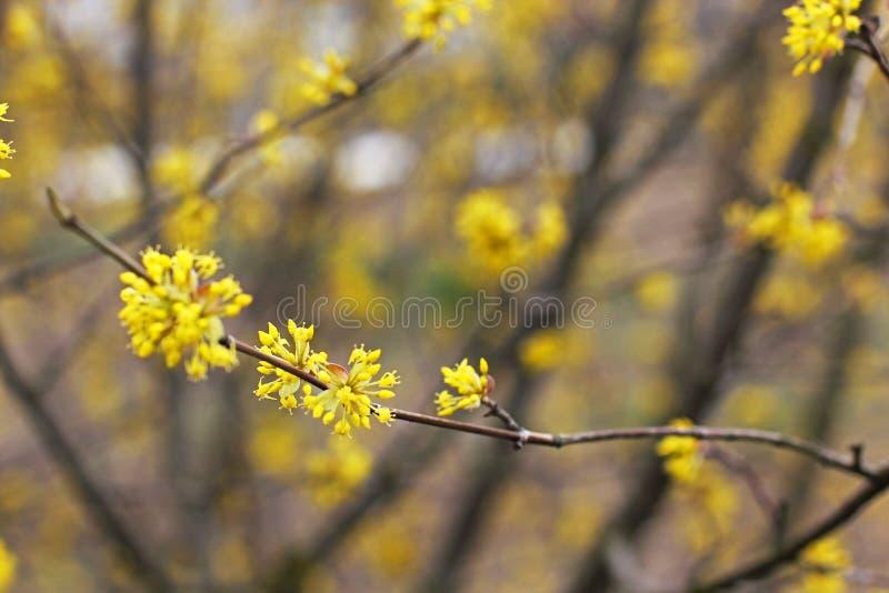 Un albero sta fiorendo dogwood fotografia stock libera da diritti