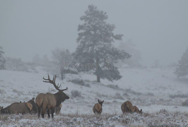 Un alce grande de Bull que controla su harén en una mañana nublada fría en Colorado fotos de archivo