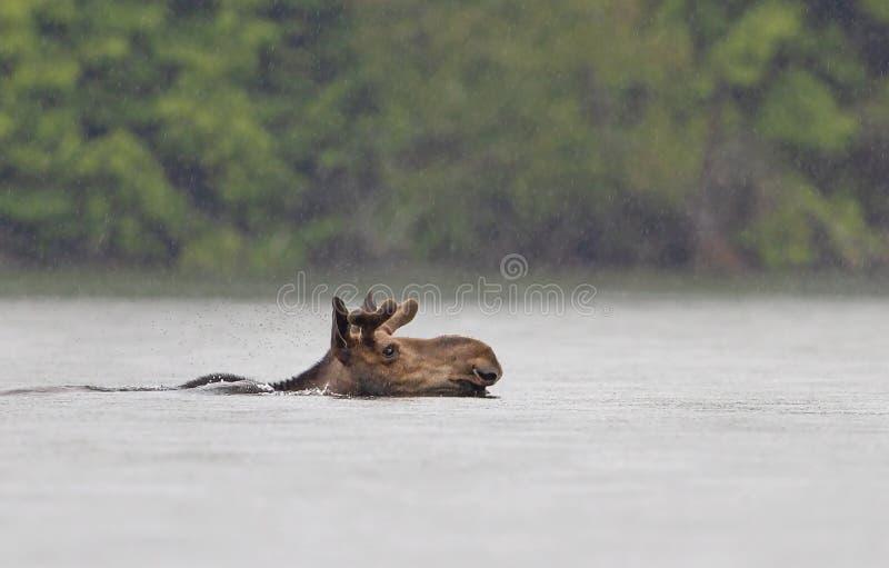 Un alce joven del toro que nada con el alces del Alces de las astas del terciopelo en el lago Opeongo en el parque del Algonquin, imágenes de archivo libres de regalías