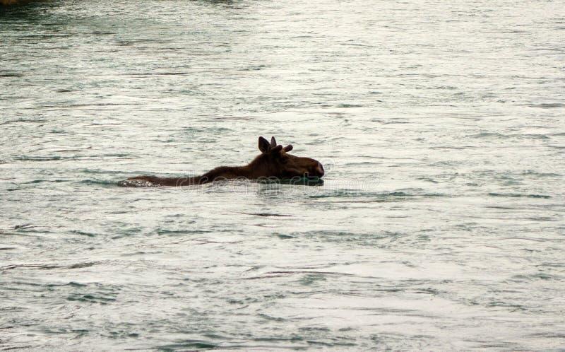 Un alce que disfruta de una nadada en Alaska fotografía de archivo libre de regalías