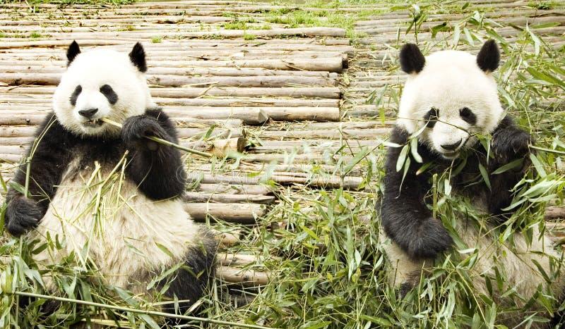 Un'alimentazione gigante dei due panda immagini stock