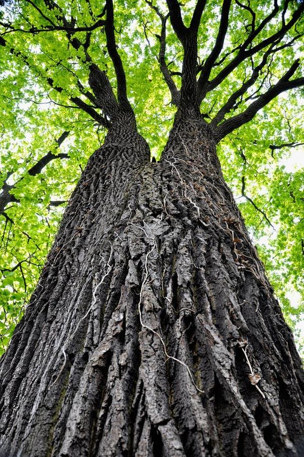 Un alto árbol imagen de archivo libre de regalías