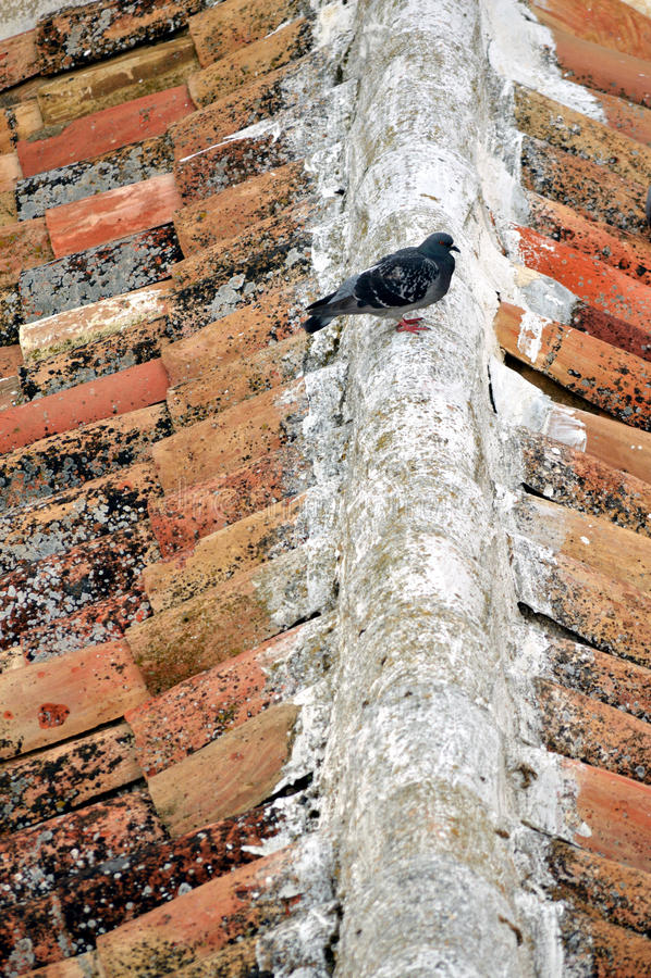 Un altro piccione sul tetto immagini stock libere da diritti