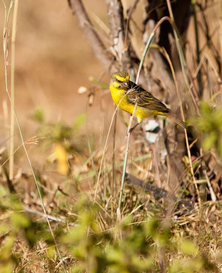 Un amarillo - canario afrontado en una ramita imágenes de archivo libres de regalías
