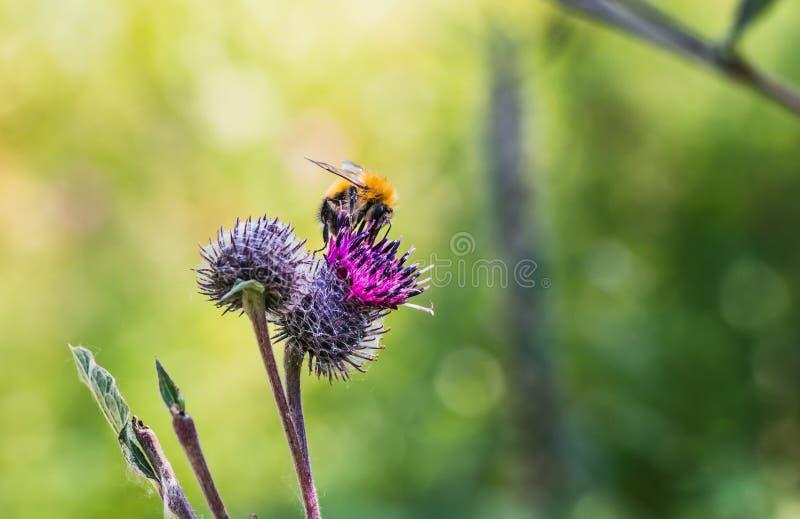 Un amarillo y un marrón brillantes lanudos grandes manosean la abeja con polen en su piel poliniza las flores púrpuras de la bard foto de archivo libre de regalías