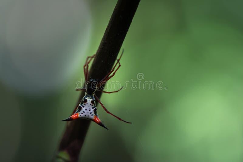 Un Amazonas agraciado Thorn Spider imagen de archivo libre de regalías