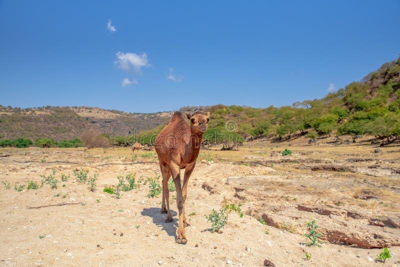 Un amico del deserto sulla strada nell'Oman immagini stock libere da diritti